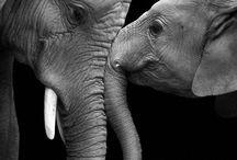 Éléphants / Éléphants,