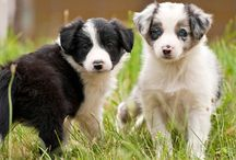 Beautiful Border Collies / Number One Smartest Breed / by Jill Gray