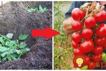 sadenie rajčín