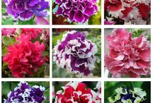 Petunia petals flower seeds / Tag friends who would love to grow Petunia Flower. First 250 buyers will get a special discount and free shipping! Get your seeds here - https://goo.gl/0kgrr5