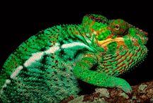Reptiles | Chameleons / by Nicolas Rix