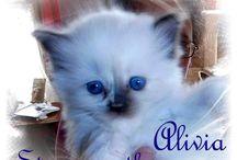 Ragdoll Kittens Born Feb. 13, 2014 / Ragdoll Kittens   http://www.houseofstewardragdolls.co,