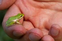Georgia Green Tree Frog