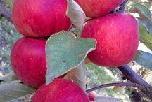 Güresinköyü Elması