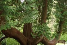 Trees Tall Trees