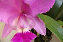 Orquídeas em foco / Fotografia de orquídeas que cultivo. Autora das fotos: Titina Corso