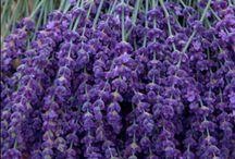 lavender / A pale tint of violet....
