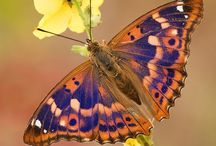 """Butterflies ƸӜƷ / """"We delight in the beauty of the butterfly, but rarely admit the changes it has gone through to achieve that beauty."""" ― Maya Angelou"""
