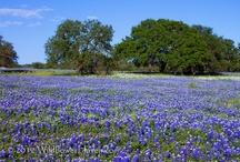 Texas bluebonnets / by Jane Factor