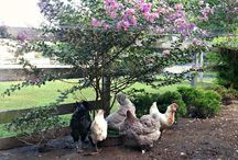 Chickens / A place to collect ideas for my chickens.   / by SimplyCanning.com