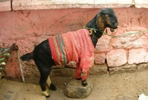 Goats in Sweaters / Just for the simple hell of it, ruminants in cable-knit.