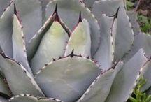 Succulents verities