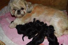 shihpoo hvalpe / mine egne hunde