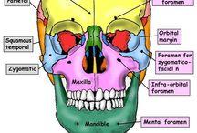 human anatomia