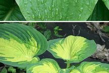 Hosta Situation / These shade-loving garden dwellers are great to fill in your landscape.  Learn more about them here!