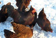 Chickens / by Stephanie