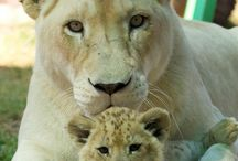 LIONESS AND THEIR CUBS