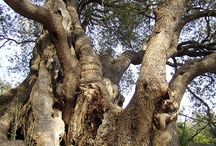 venerable trees