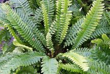 Ferns / Ferns are highly versatile, ancient and mysterious plants which require very little care and attention and are untroubled by pests and diseases. They have marvellously intricate foliage with architectural pinnate leaf forms which look particularly beautiful as they erupt from new fronds