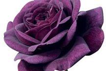 20 Purple Rose Flower Rose Seeds