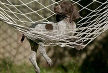 German shorthairs / by Amy Hinton ONeal