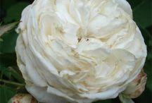 le rose bianche che vorrei / la lista delle #rose bianche che prima o poi arriveranno nel mio #giardino http://giardinoindiretta.blogspot.it/