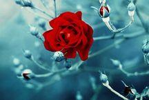 Róże klip