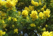 Piante di mimose