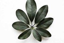 PLANTAS - Schefflera arboricola