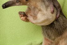 anteaters n more