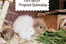 Guineapig Tips / A board filled with guinea pig care tips and advice for any guineapig lover!