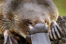 Animals - Platypus
