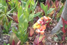 Pip's Plants (Auckland, New Zealand) / These are some of the plants I have in my garden. It's sub-tropical. Auckland rarely gets frost. Summers are hot and dry usually, although sometimes we get four seasons in one day!