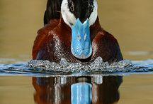 Kaczki - Ducks