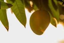 Beerenberg Provenance Project – Mango Harvest