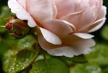 Petali / Fiori, colori, sfumature, immaginari profumi