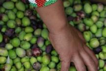 Palestine olive harvest / 2012 olive harvest in West Bank, Palestine