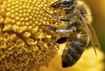 Pszczoła Miodna-Apis Melifera