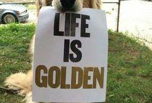 Golden Retriever Tales