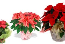 Petals n Buds: Christmas Winter Holiday
