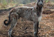 Scottish Deer hound,and Irish wolf hound