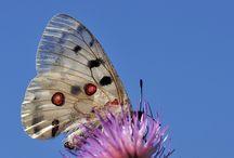 Kelebekler / Butterflies / Narin kanatlılar