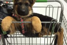 German shepherd / Dogs I want to own