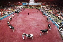 Epic Showring Pics / by World Dairy Expo