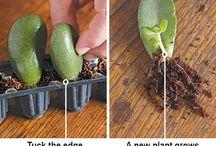 Garden: succulents - propagation