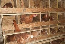 Chicken nest