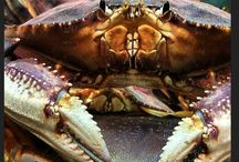 Live Dungeness Crab / Our Dungeness Crab comes from the waters of the Pacific Northwest. We are proud to carry this local Northwest specialty. These crabs make a great meal with plenty of meat in the body and legs. The flavor is sweet and buttery with a slight firmness. We ship direct to our wholesale customers and to consumers (min order is 4 crab).
