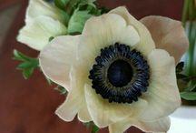Flori / Anemonă