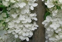 Hydrangeas, Hyacinths, Hibiscus, Paperwhites / by Susan Cornecelli Smith