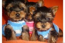 Pejsi - dogs / Fotky krásných pejsků a štěňátek k prodeji